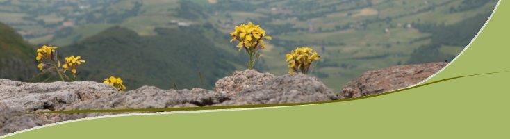 Fleurs sur le Puy Mary